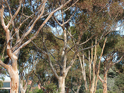 UC San Diego Campus Forest Analysis
